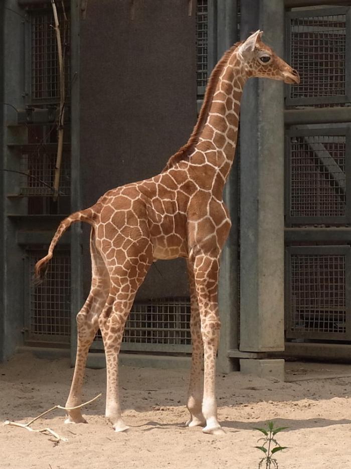 Baby Giraffe - klassische Pose